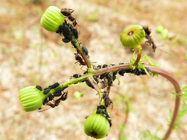 mravenci na rostlině