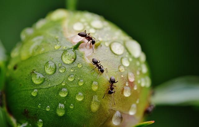 mravenci na poupěti